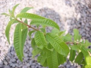 Close up of lemon verbena leaves