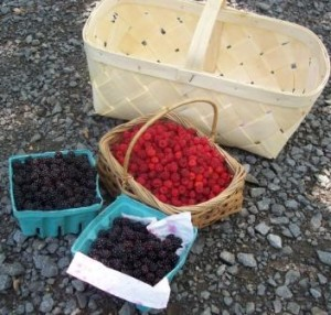 The results of a few hours of wild berry picking