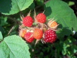 Wineberries ripening