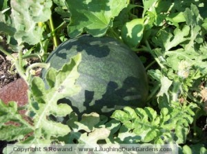 Blacktail Watermelon growing mid-August