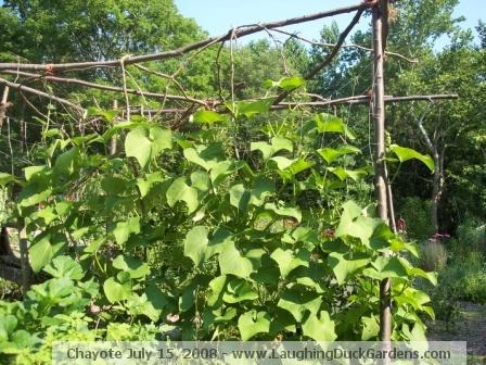 chayote-2008-07-15
