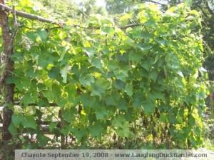 chayote-2008-09-19