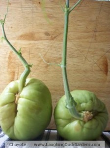 chayote-sprouting-2