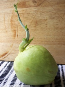 chayote-sprouting