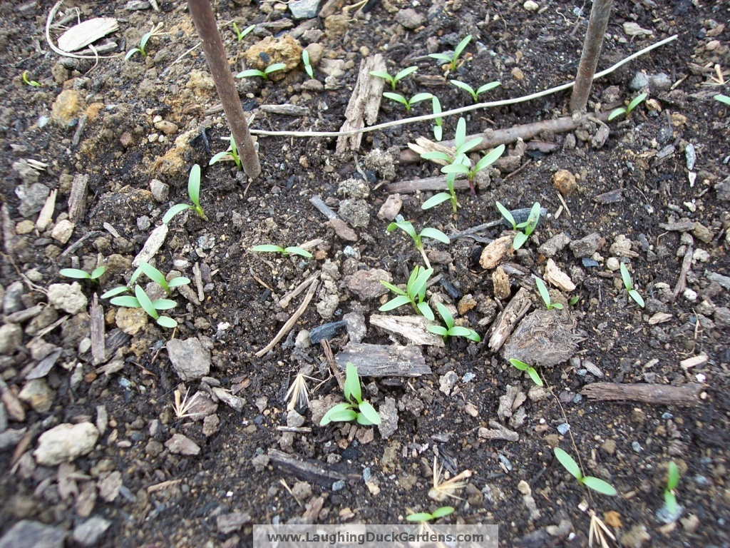 cilantro-self-sown-mid-march