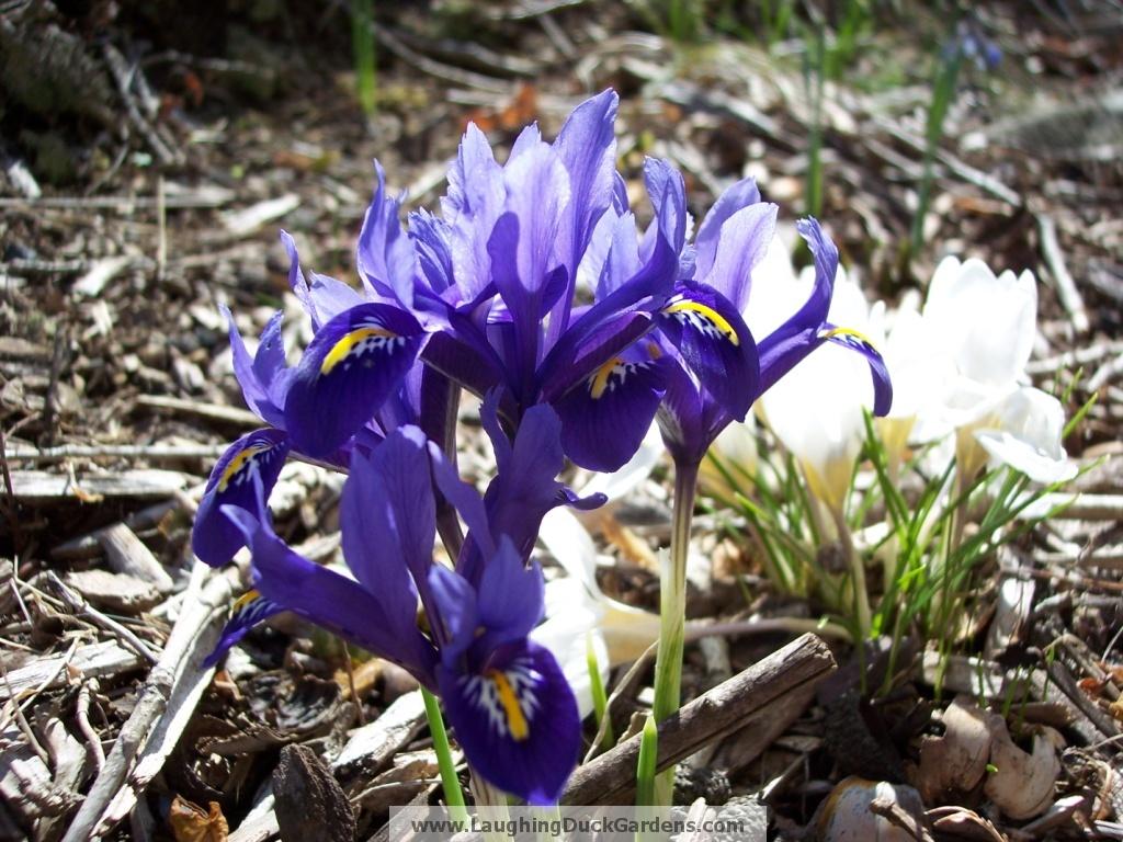 Iris histrioides 'Harmony'