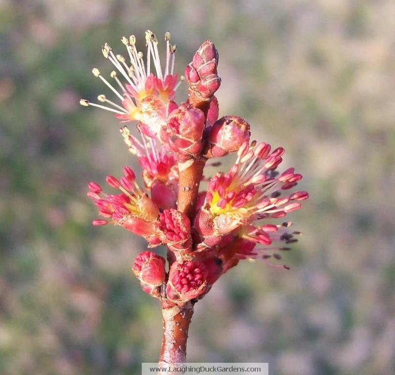 maple-flower-single-2009-03-139