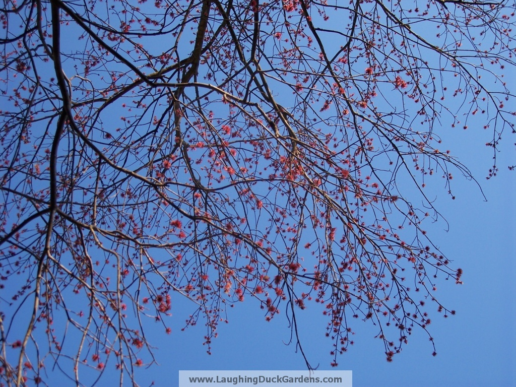 maple-flowers-2009-03-136