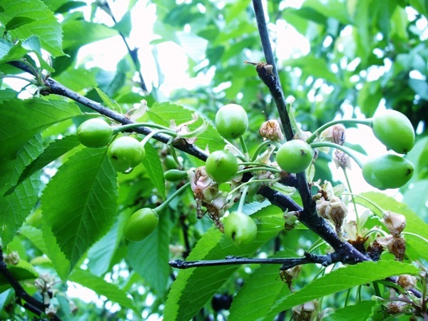 cherries-ont-top-green-cherry-early-may-09