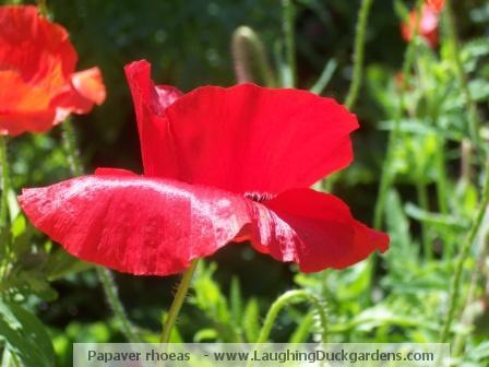 shirley-poppies-2008-06-012