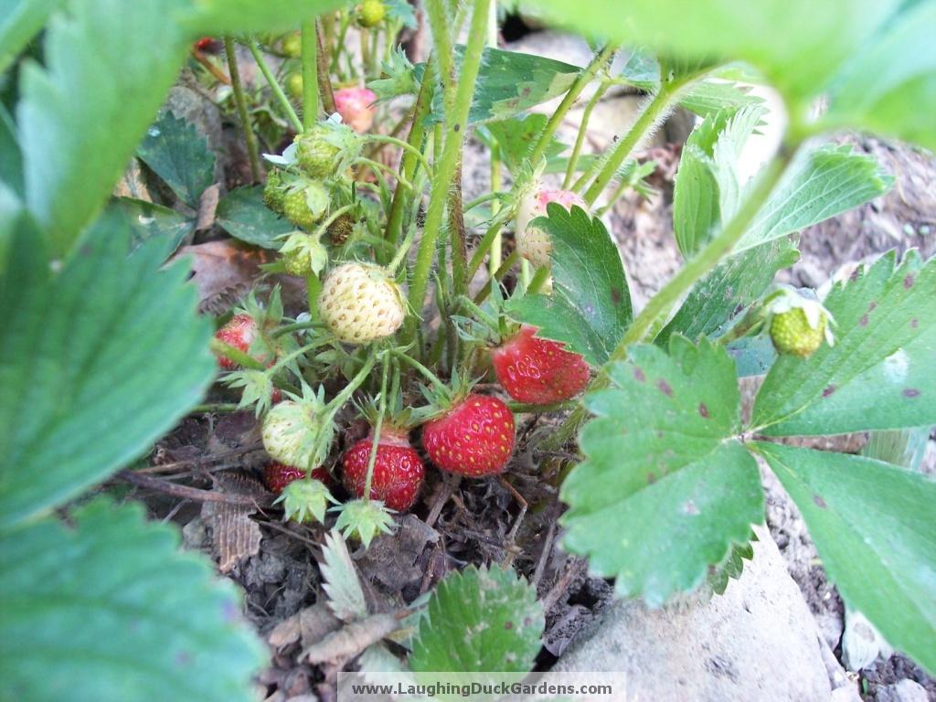 strawberry-tristar-2009-05-032