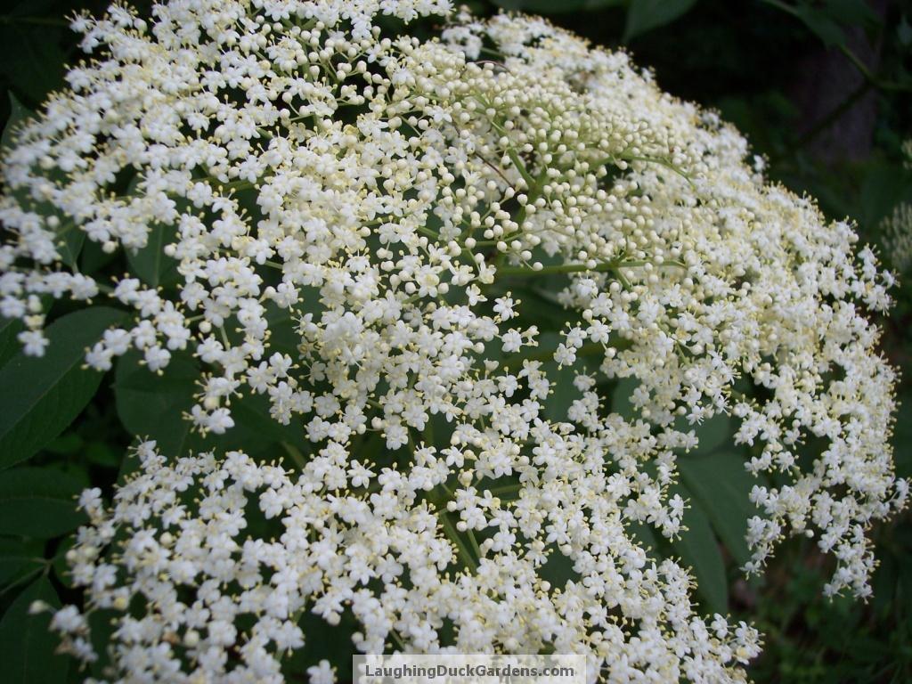 elder-blossom-2009-06-172