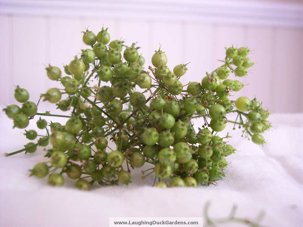 green-coriander-004
