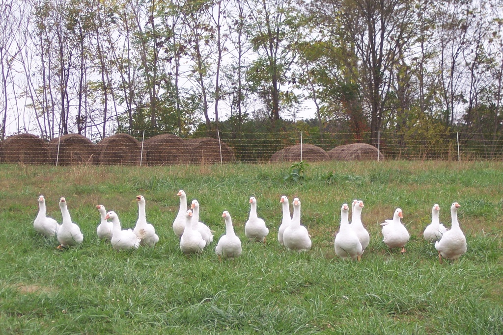 geese-at-belle-meade