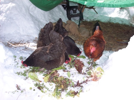 chickens-eating-fresh-2010-02-150