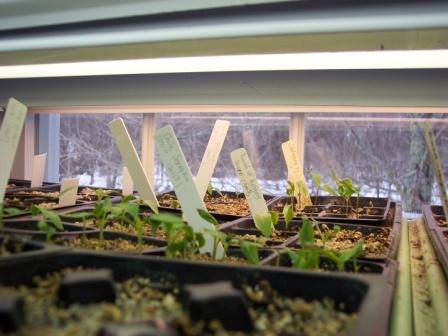 Pepper Seedlings under light