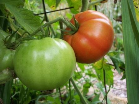 tomatoes-ripening-on-vine-2008-08-161