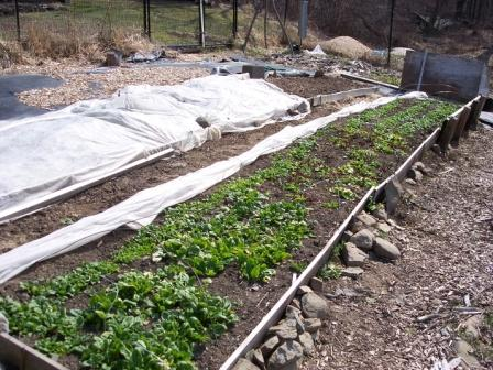 spinach-bed-2010-03-06
