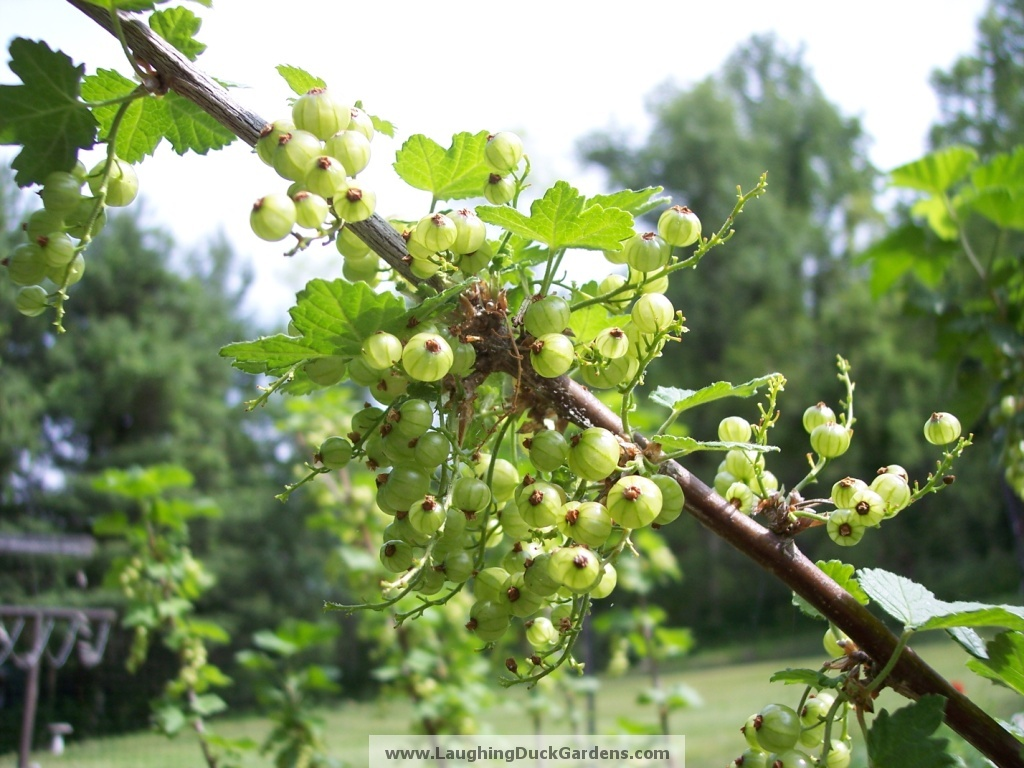 currants-green-2010-05-012