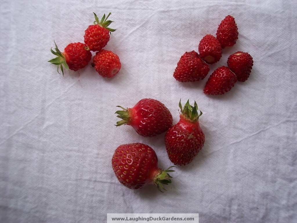 strawberries-3-species-whole1