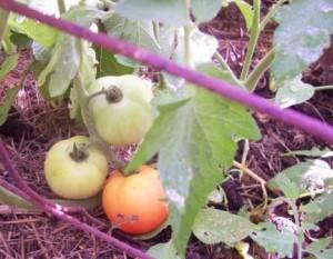 tomato-blushing-2010-07-055