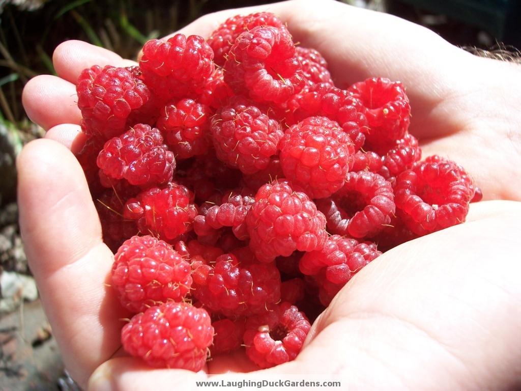 raspberries-005