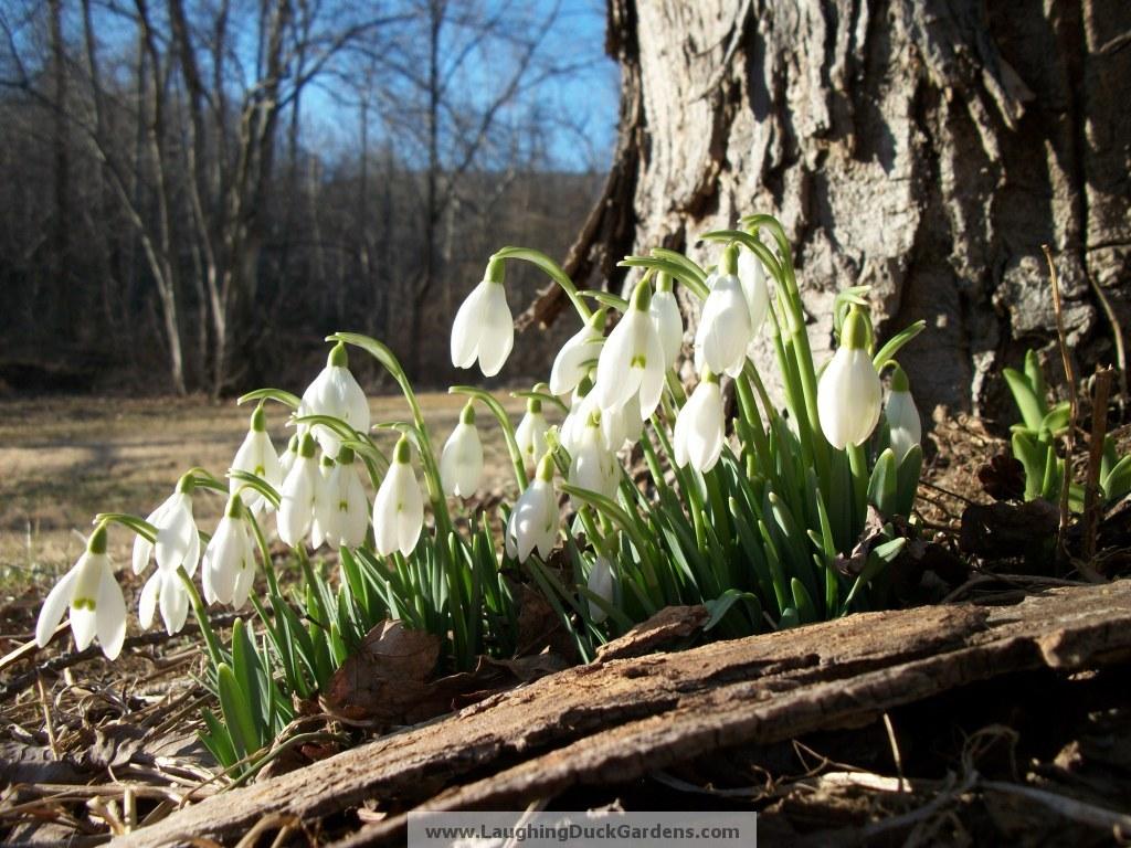 snowdrops-2011-02-008