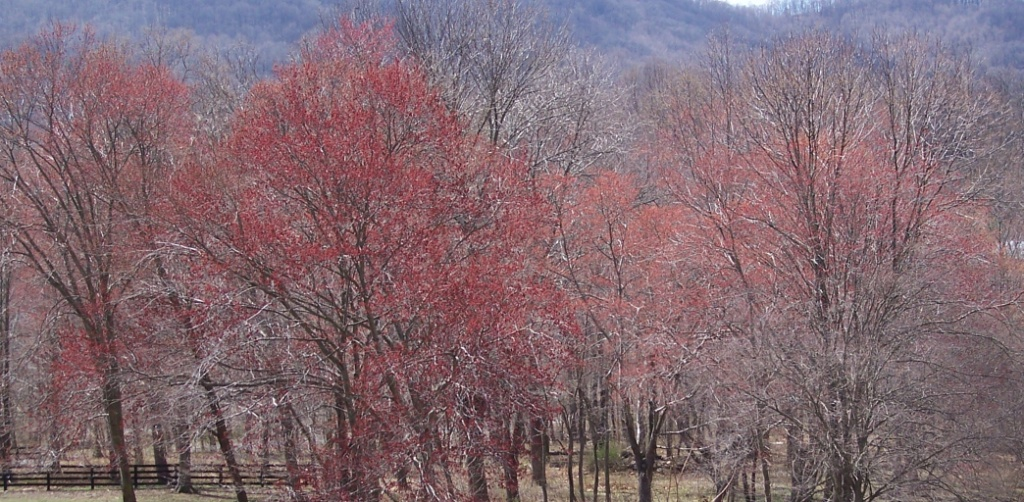 maples-blooming-2009-03-237