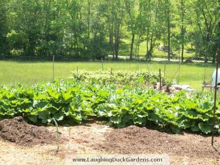 rhubarb-in-mccormick-garden-004