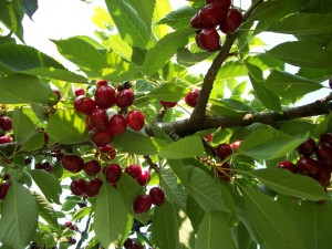 cherry orchard, June-07-11 007