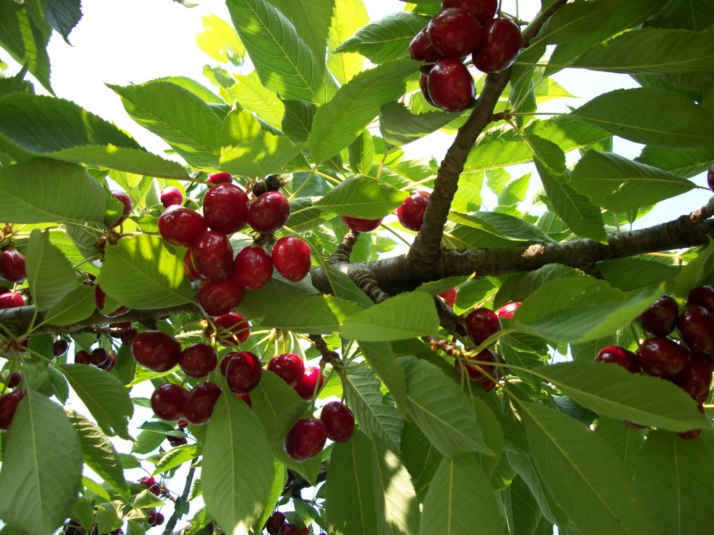 On Cherries