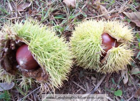 chestnuts 001