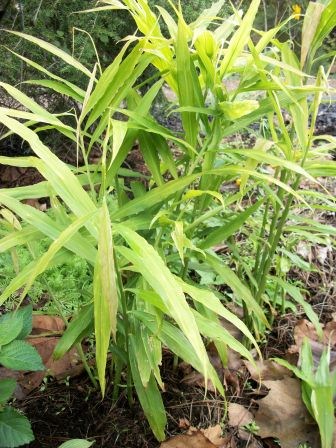 Growing Ginger In Virginia Laughing Duck Gardens Amp Cookery