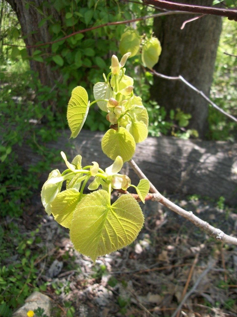 basswood in bud