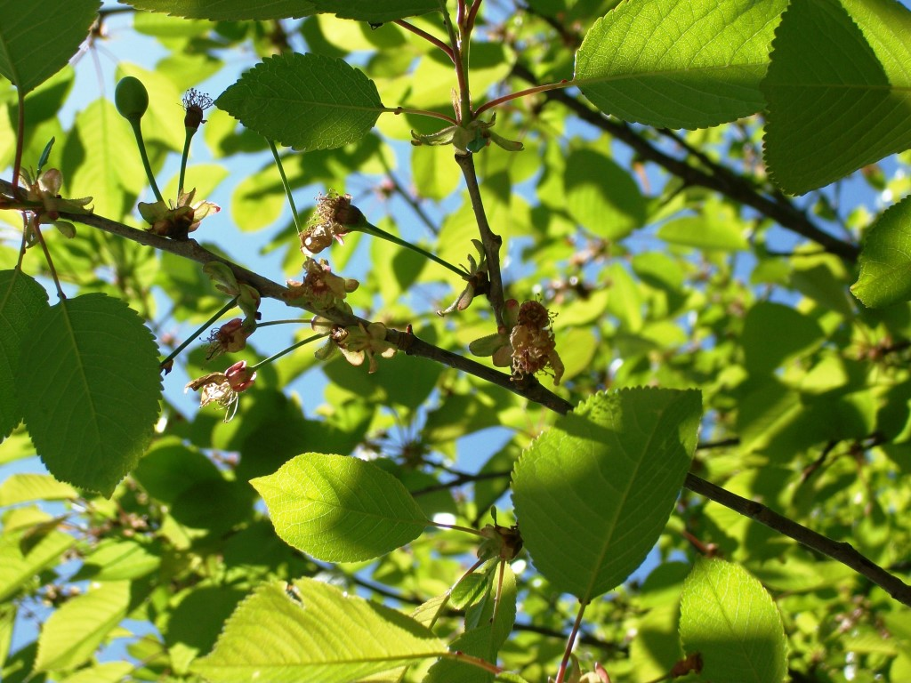 wild cherries immature