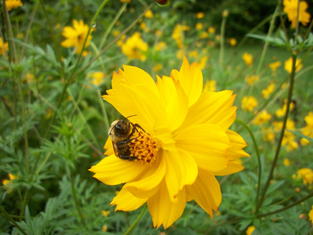 bumble bee on cosmo 061