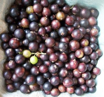 black currant berries 005