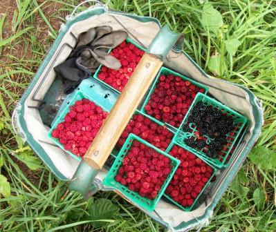 Wineberries and a few wild blackberries