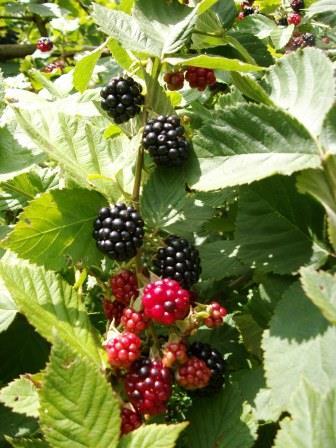 blackberries 011
