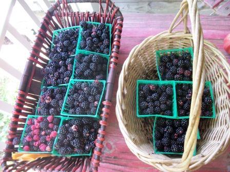 blakberry harvest 012
