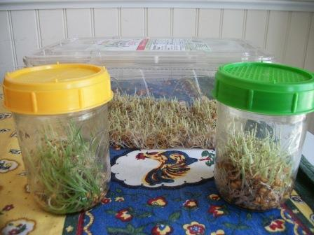 Wheat grass for our chicken