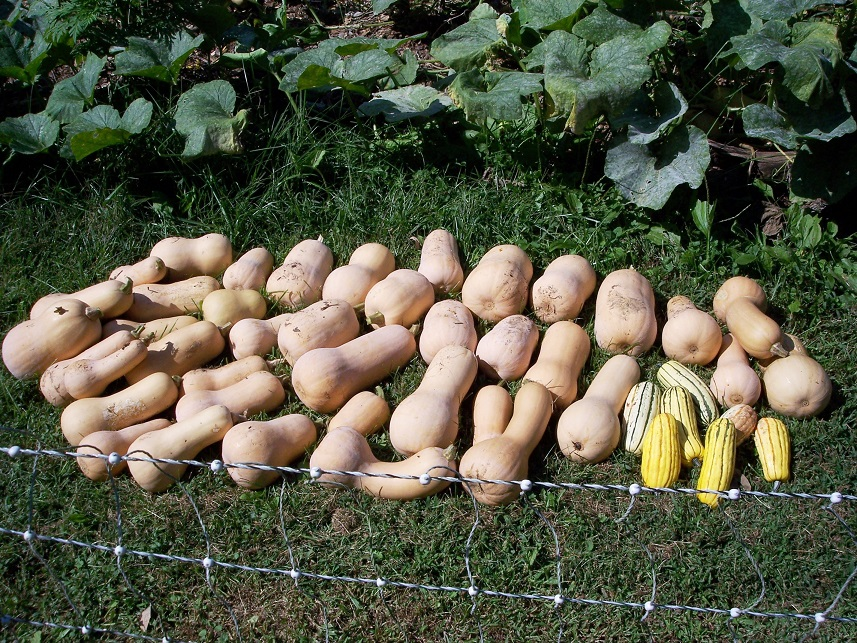 Butternut harvest