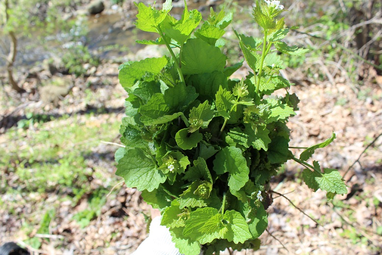 Eat the Invasives (Garlic Mustard)